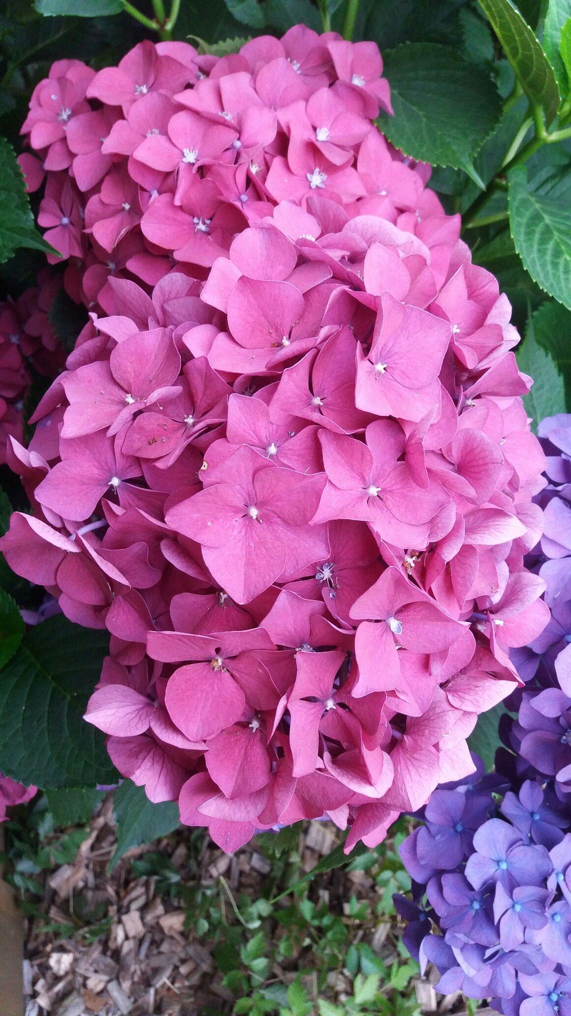 Hydrangea My Garden Flowers Hydrangea Flower Power