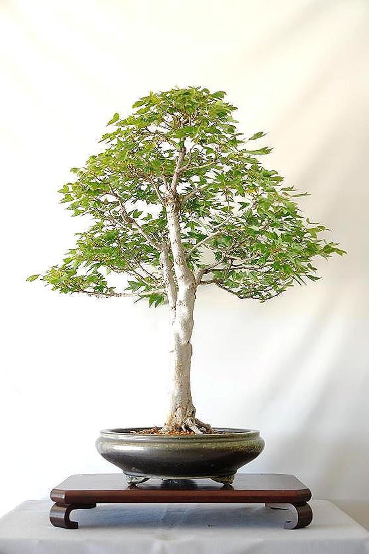 image result for serissa japonica shaping wiring and styling serissa rh pinterest com au wire ficus bonsai Camellia Bonsai