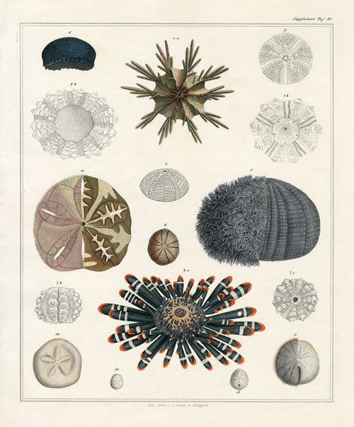 Oken Antique Prints, shell prints, fish prints, coral prints ...