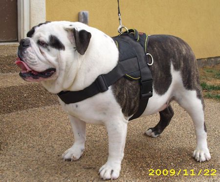 Pin On English Bulldogs