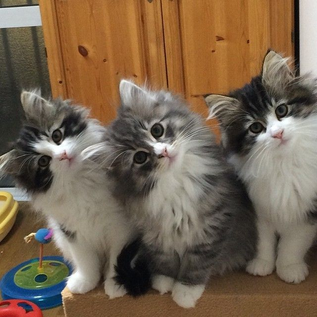 The Three Musketeers Kittens cutest, Cute cats, Cute animals