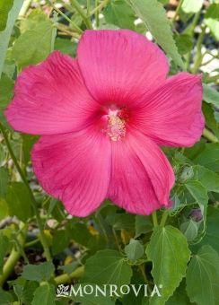 Crimson Wonder Rose Mallow Or Hardy Tropical Hibiscus Usda