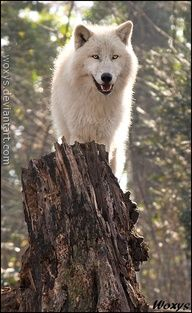 An arctic white wolf adopts an advantageous point for observation...and control...