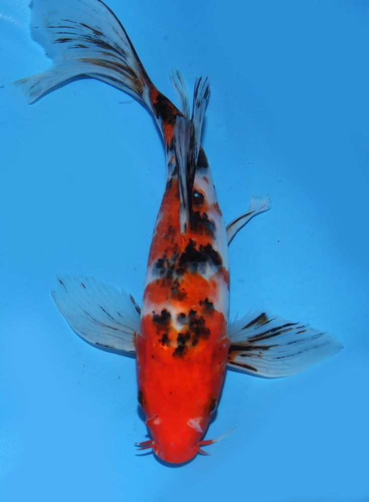 Live koi fish 9 sanke butterfly tricolor long fins koibay for Live koi for sale