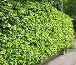 De beukenhaag (Fagus Sylvatica) is bladhoudend. In de winter worden de bladeren bruin. Deze bruine bladeren vallen eraf in het voorjaar als de nieuwe blaadjes eraan komen. De Beukenhaag groeit 30 tot 40cm per jaar.