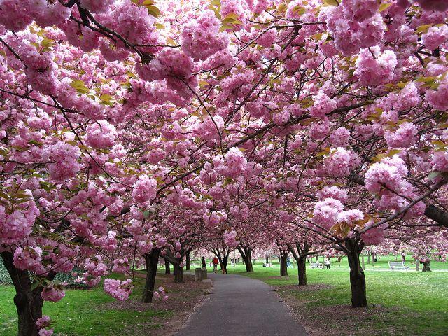 Cherry Esplanade Brooklyn Botanic Garden Cherry Blooms Ornamental Cherry Botanical Gardens