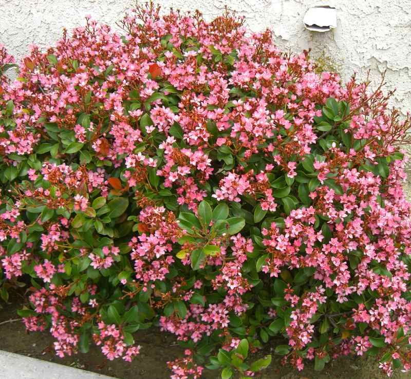 Rhaphiolepis Indian Hawthorn Shrub Dwarf Versions Available Part