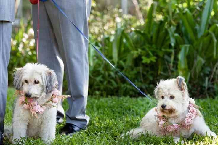 شوف صور جديده صوره كلاب صغيره Wedding Pets Dog Wedding Pets