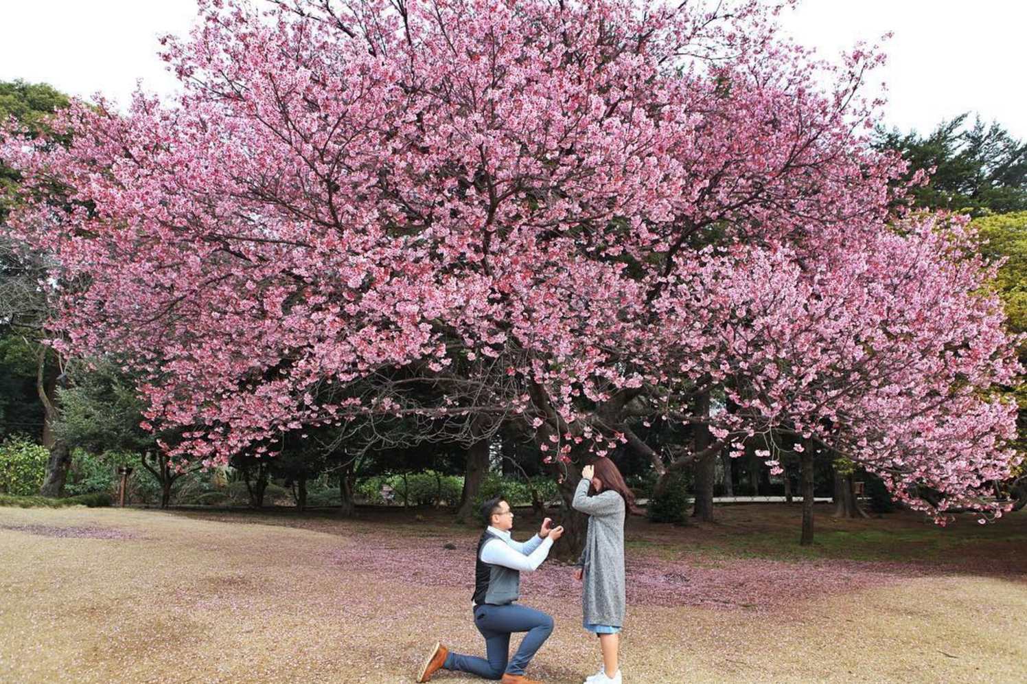 Fallen Cherry Blossoms On A Path In Balboa Park S Japanese Friendship Garden Beautiful Gardens Balboa Park San Diego Attractions