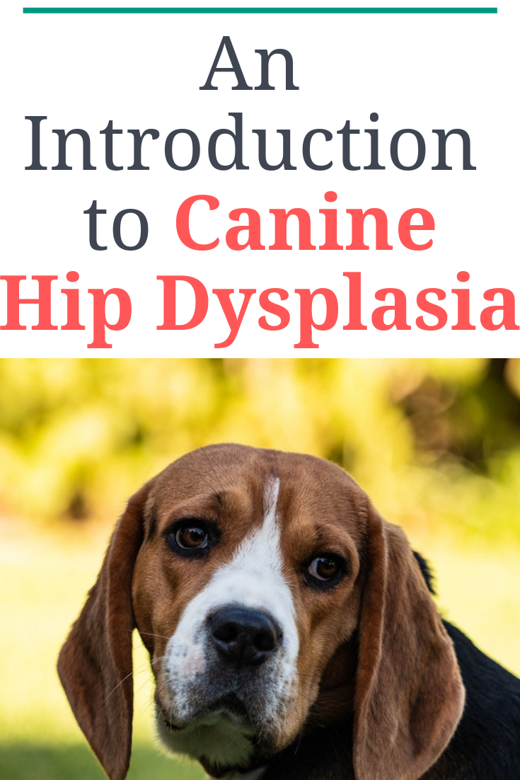 Canine Hip Dysplasia Simply Defined Is When A Dog S Hips Do Not Develop Normally And The Ball Does Not Fit S Canine Hip Dysplasia Hip Dysplasia Dog Health Tips