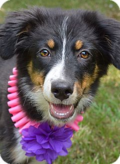 Denver Co Australian Shepherd Border Collie Mix Meet Ellie A Puppy For Adoption Australian Shepherd Puppy Adoption Border Collie Mix