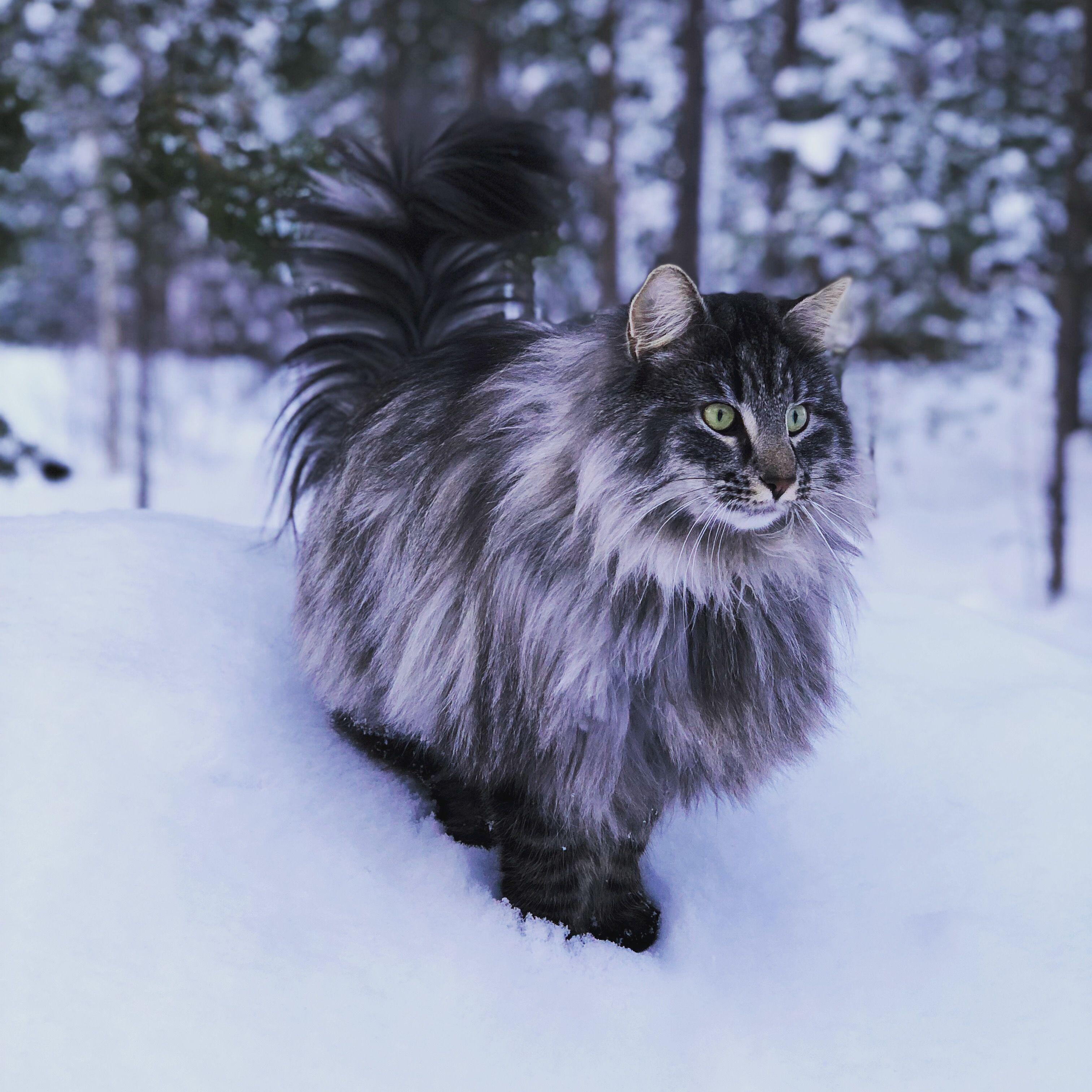 Bonzo 2yrs Norwegian Forest Cat Hannabruce Norwegianforestcat Cat Norskskogkatt Norwegian Forest Cat Pretty Cats Cats