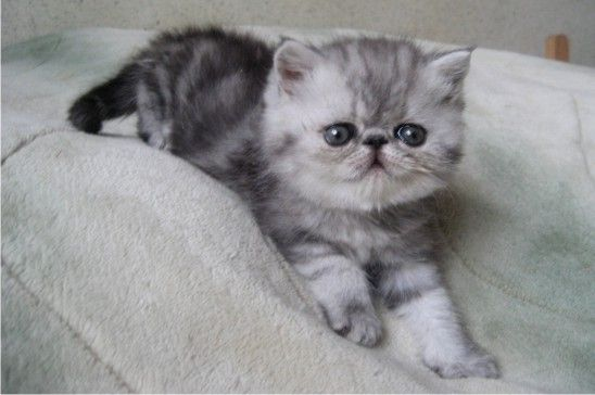 Silver Tabby Exotic Shorthair Kittens Short Hair Fashions ...