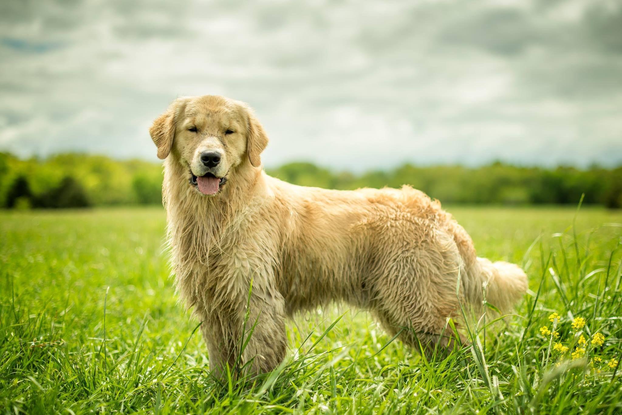 Katmar S Mile High Magic 1 17 2016 Golden Retriever Labrador
