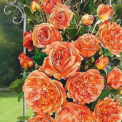Kletterrosen | rosen | Pinterest | Kletterrosen, Rose und Gärten
