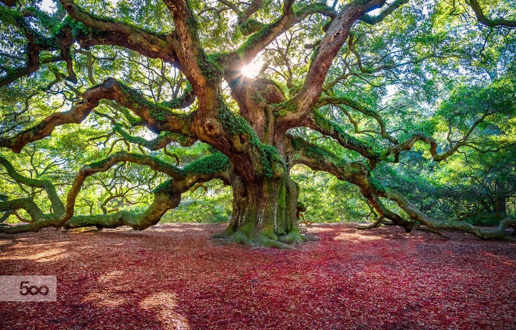 Maximilian on Angel oak, Angel oak trees, Tree photography