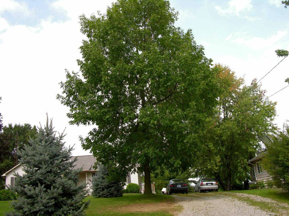 Here is a great green ash alive as a result of treatments