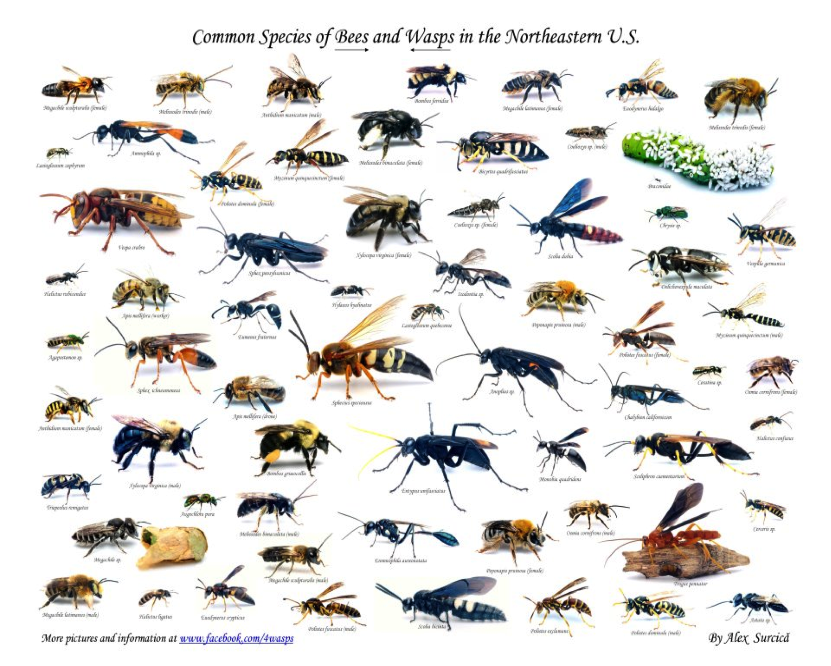 Images Of Different Types Of Bees Types Of Bees Different Types Of Bees Types Of Honey Bees