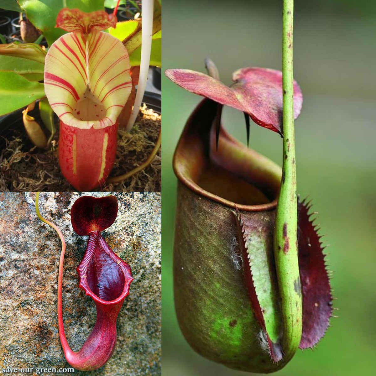 Nepenthes Bonsai Flower Seeds Plants And Herbs Carnivorous Purify Air Catch