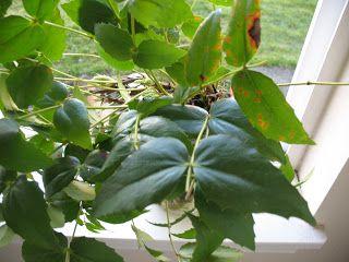 Plateau Gardening--高地の畑つくり: Medicinal Plants薬用植物