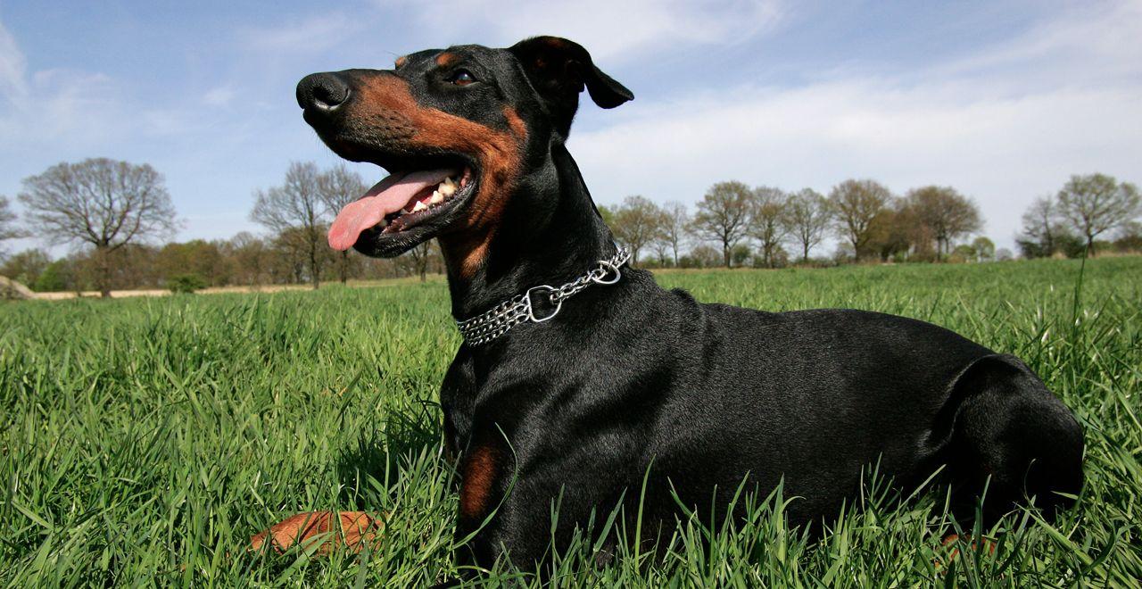 10 Dog Breeds That Rile Up Insurers Guard Dogs Dog Breeds Doberman