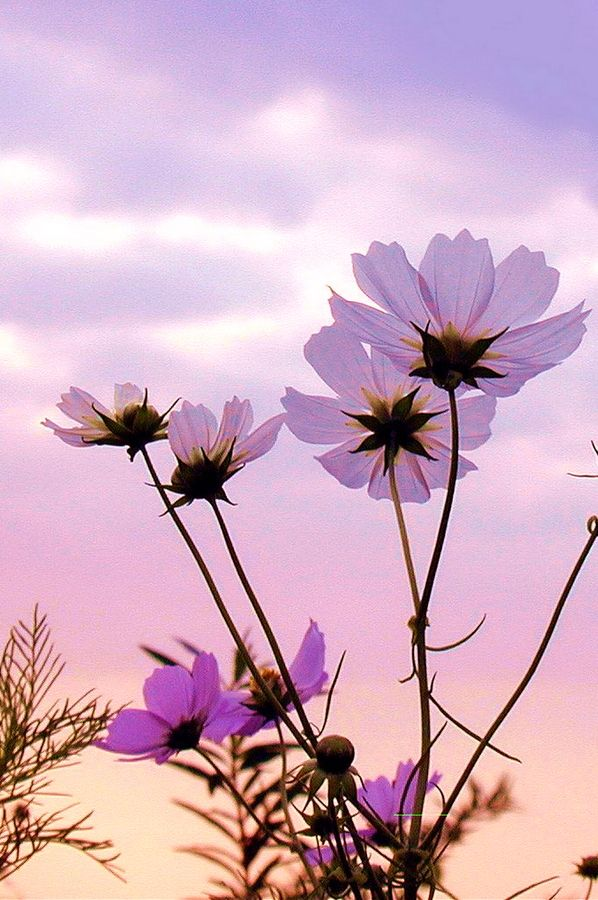 Cosmos Of Twilight Cosmos Flowers Beautiful Flowers Flowers Photography