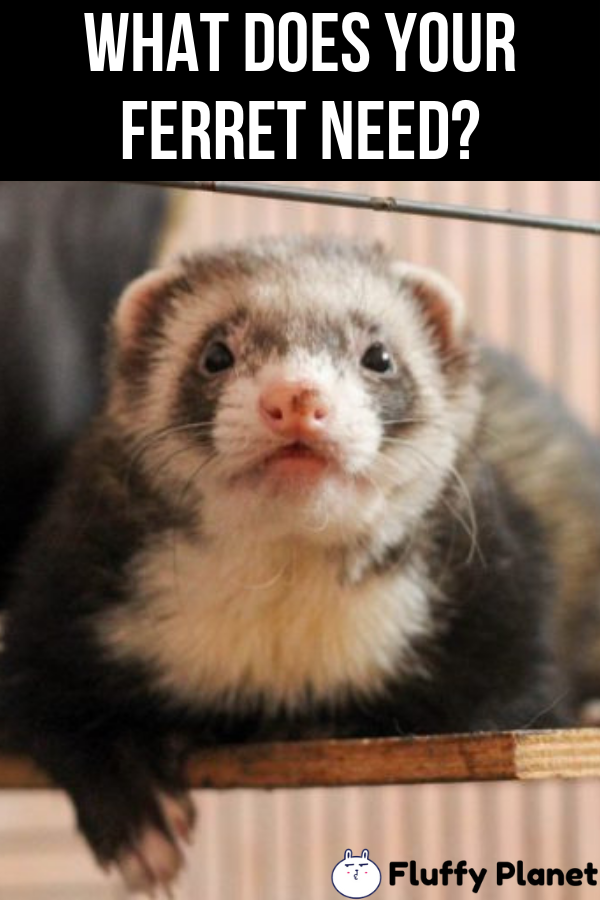 What Does Your Ferret Need Ferret Funny Ferrets Ferret Toys