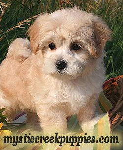 Maltipoo Morkie Or Yorktese Puppies From Mystic Creek Puppies