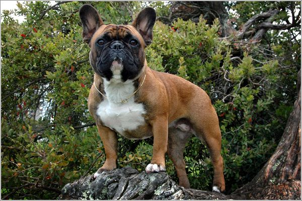 Dark Red Fawn French Bulldog Is The Color I Want For My Next