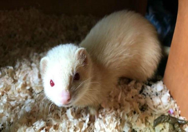 Marlene The Ferret Is A Chill Ferret In A Dundee Rehoming Centre Needs A New Home Evening Telegraph Rehoming Ferret Small Pets