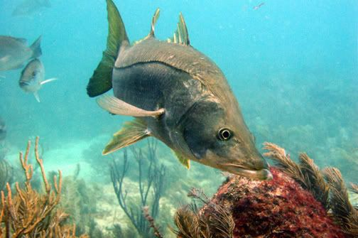 Florida Snook Fishing is in Season   Deep sea fishing boats. Carp fishing tips. Fish ornaments