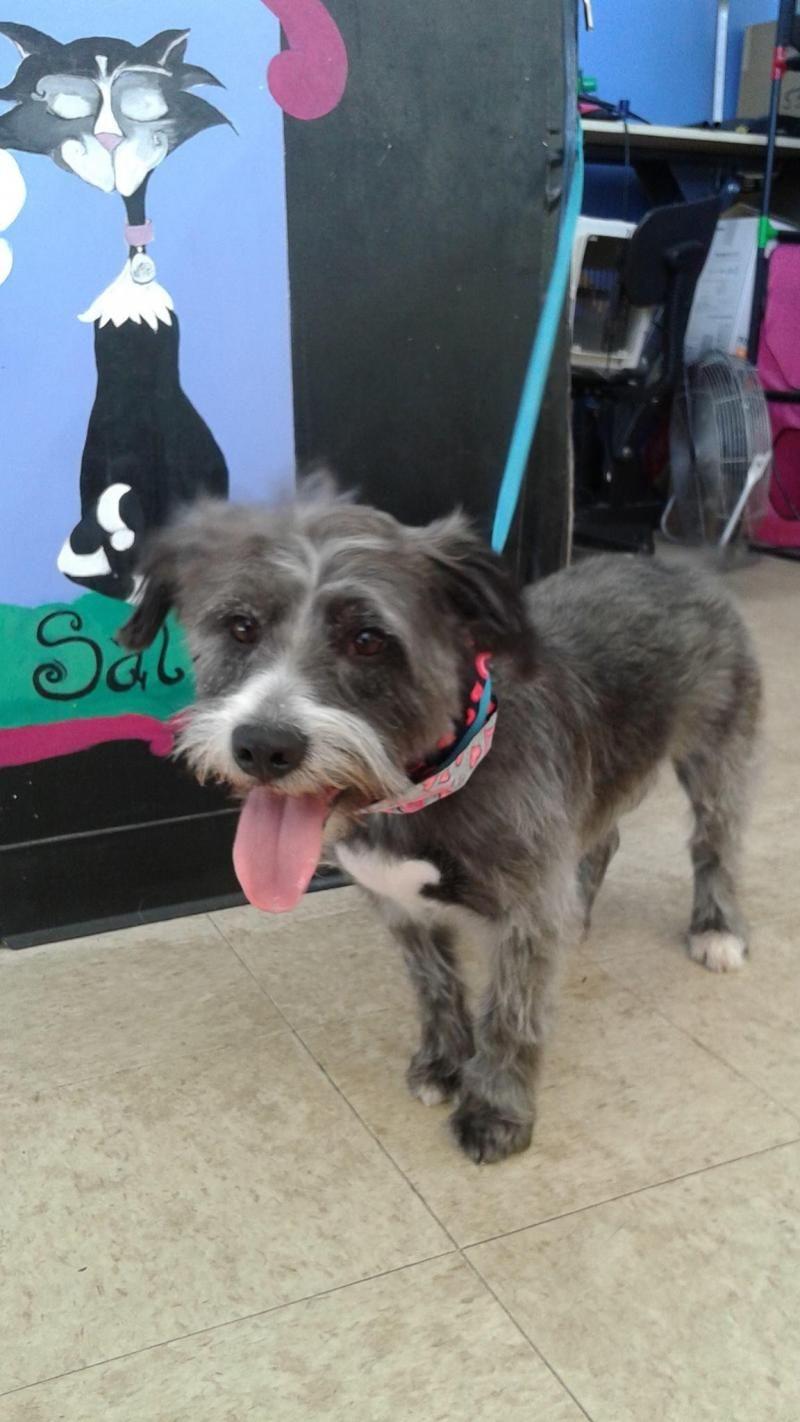 Adopt daisy on schnauzer dogs dogs bearded collie