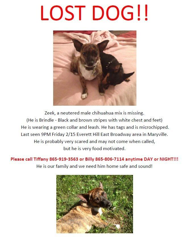 Lost Chihuahua In Maryville Tn Plz Rt Bellaannrose Missing