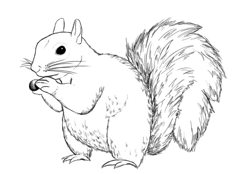 Line Drawing Squirrel : How to draw a squirrel drawings and sketches