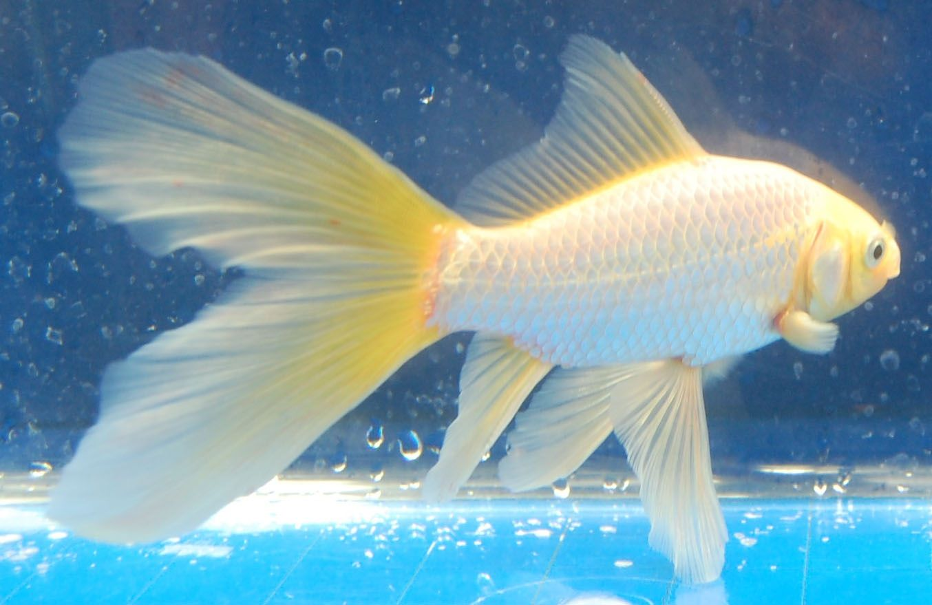 Goldfish bristol tailed comet goldfish for the pond for Comet pond fish