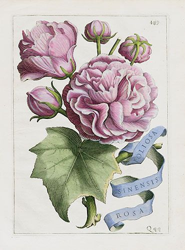 Giovanni Battista Ferrari Flora Prints 1638