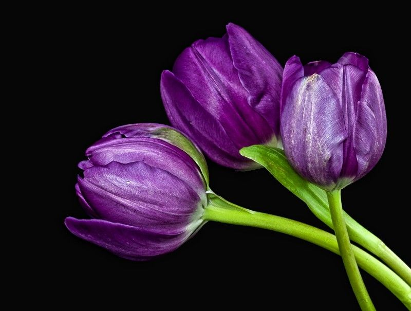 Kết quả hình ảnh cho the most amazing purple tulips on the white ground
