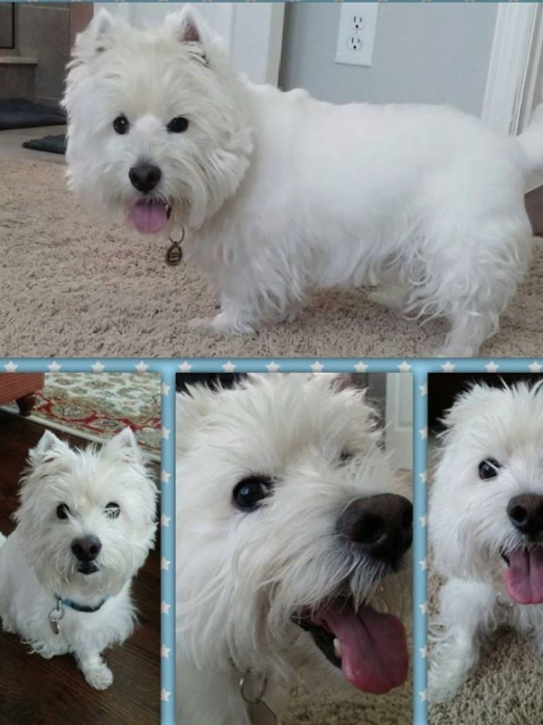 Pin By Joann Morath On Vip Pets We Love Our Clients Pets Service Animal Westies