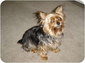 St Louis Mo Yorkie Yorkshire Terrier Meet Missing Yorkie A Dog For Adoption Http Www Adoptapet Com Pe With Images Yorkie Yorkshire Terrier Pets Yorkshire Terrier
