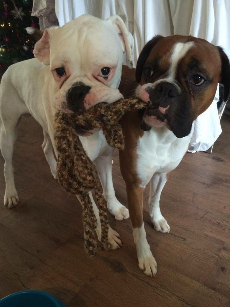 Sharing Boxer breed, Baby dogs, Boxer dogs