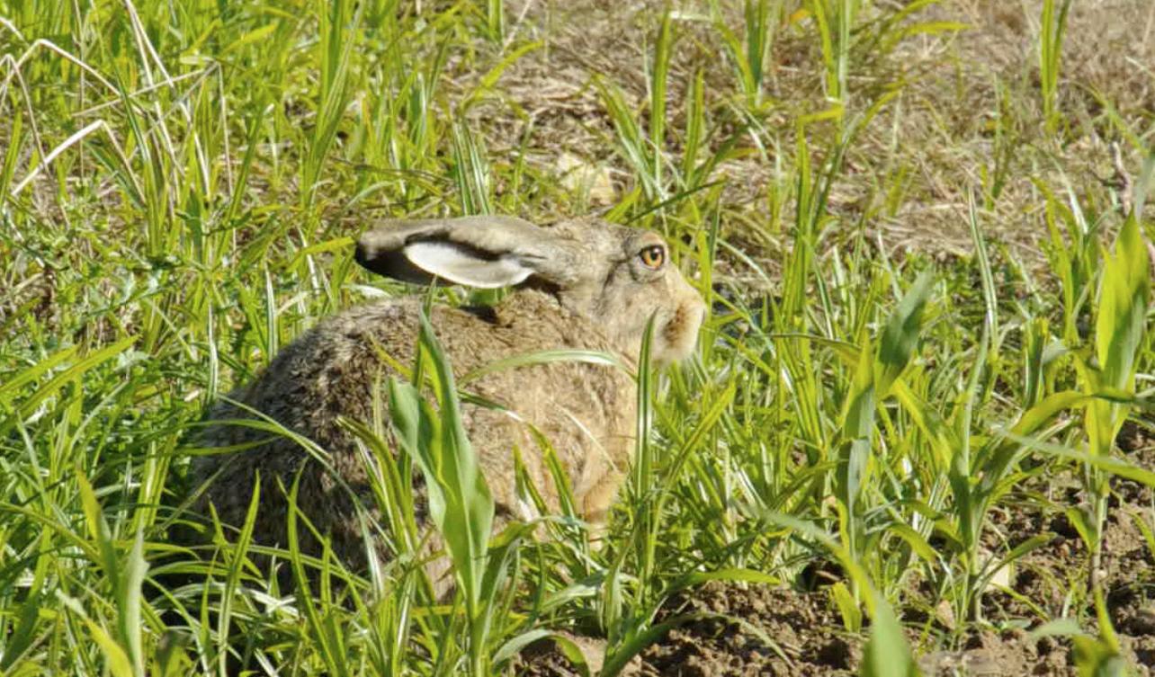 Un joli lièvre grignote quelques brins d'herbe sans être trop affolé par notre photographe!