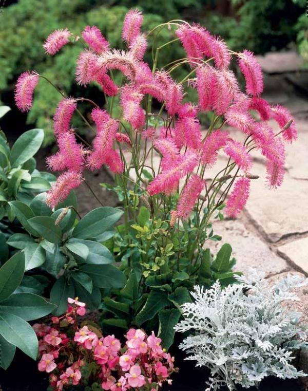 sanguisorba obtusa rose pimprenelle japonaise flowers. Black Bedroom Furniture Sets. Home Design Ideas