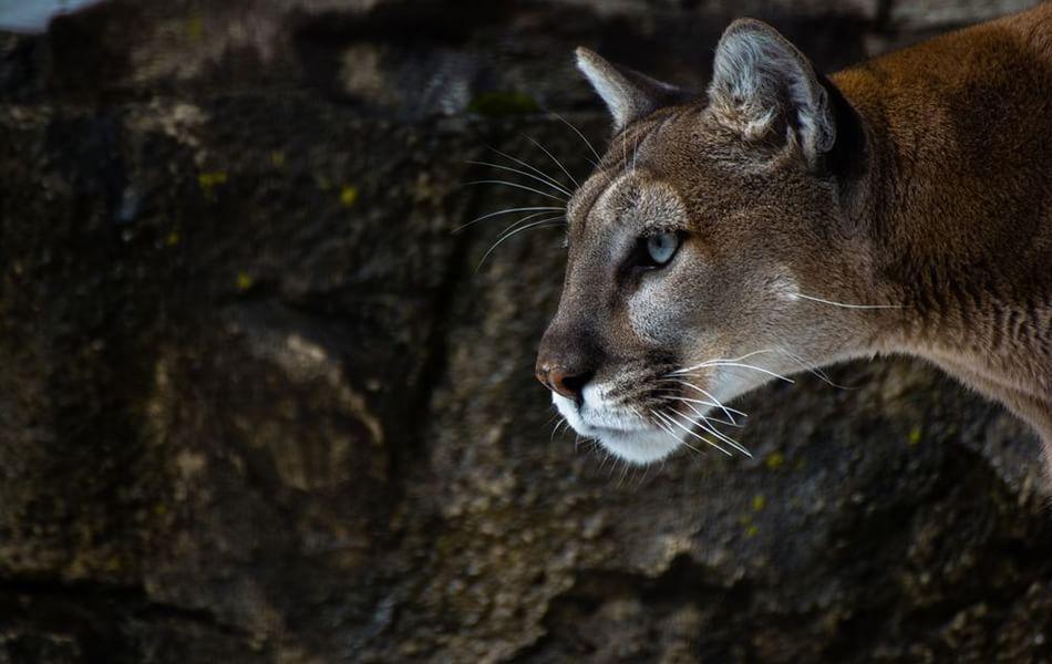 Puma alla riscossa