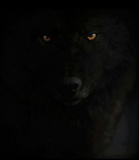 Tumblr Is A Place To Express Yourself Discover Yourself And Bond Over The Stuff You Love It S Where Your Interests Connect You Black Wolf Wolf Pictures Wolf