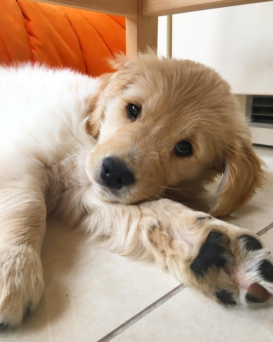 Pinterest catherinesullivan2017 Golden retriever, Dogs