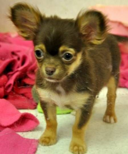 8 Weeks Old Tea Cup Chihuahua Pup Loves Those Ears Cute