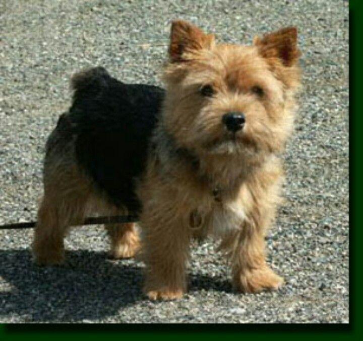 Norwhich Terrier Soo Precious Norwich Terrier Puppy Norwich