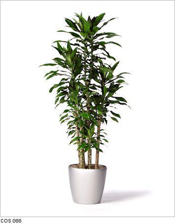 Dracaena Costaricana live office floor plants for indoor use ...