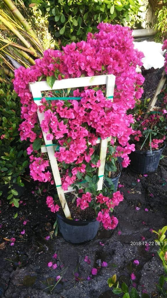 Bougainvillea plant for Sale in Indiantown, FL Plant