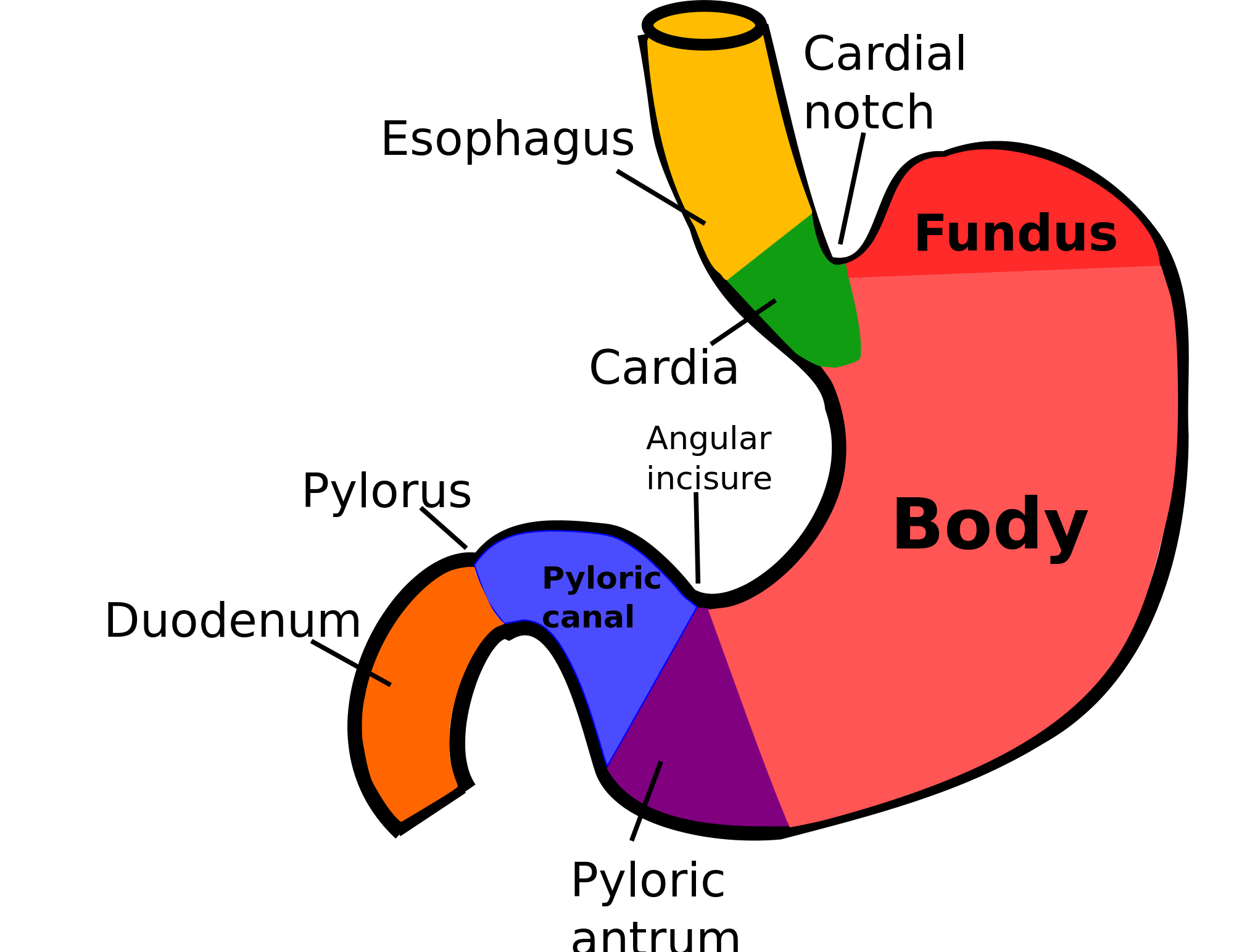 The Stomach - Physiology Read more at: http://forum.facmedicine.com ...